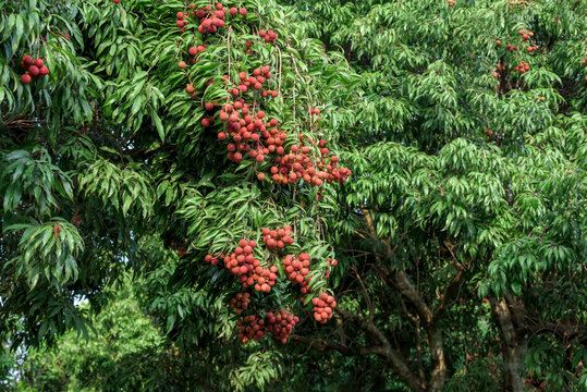 Ripe lychee fruits on tree.