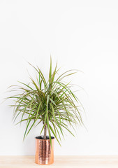 Beautiful Madagascar dragon tree in a copper pot