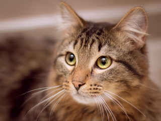 Portrait of a brown fluffy tabby cat with green eyes and white mustache. His look is thoughtful and attentive.