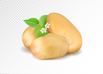 Realistic potato with leaf and potato flowers. Realism vector eps10