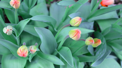 beautiful gentle romantic fresh natural background, buds and leaves of tulip flowers. spring nature