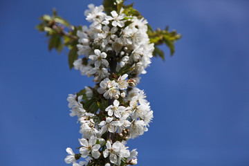 The first spring white flower. Branches of a cherry tree. Close up against the blue sky.