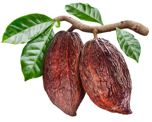 Cocoa pods hanging from the cocoa branch. Conceptual photo.
