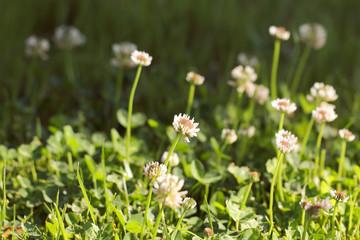 клевер лекарственное растение растёт в поле