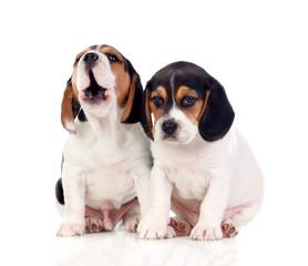 Two beautiful beagle puppies