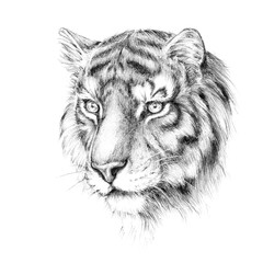 Sketch, graphics head of a tiger