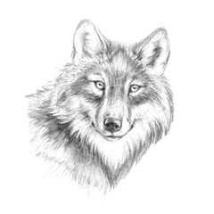 Sketch, graphics head of a wolf of black and white pen graphics