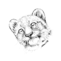 Sketch portrait head lion cub, sketch