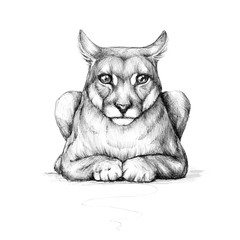 Puma, wild cat, drawing