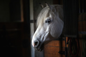 White horse portrait in stable