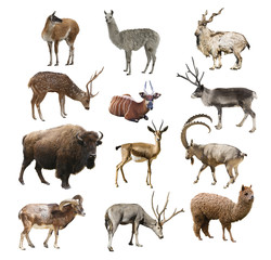 Mammals artiodactyl ruminant animals on white background isolated. Collage