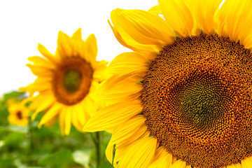 Sonnenblumen auf einem Feld, eine Großaufnahme von einer Sonnenblume