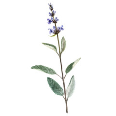 watercolor plant of salvia
