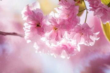 Close up of Pink Blossom Cherry Tree Branch, Sakura, during Spring Season