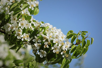 Beautiful branch pear tree blossoms against a blue background