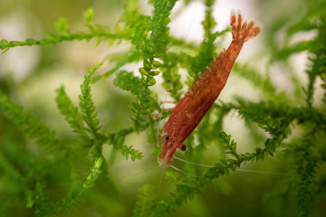 Fresh water shrimps grazing on green moss in aquarium (Neocaridina heteropoda var. Red Cherry)