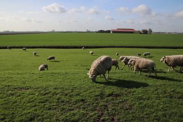 sheeps in the meadows of polder Wilde Veenen in Moerkapelle the Netherlands.