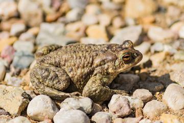 big green frog or anuran sitting on stones, animals wildlife