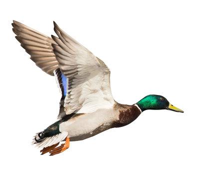 mallard duck drake isolated on white in flight