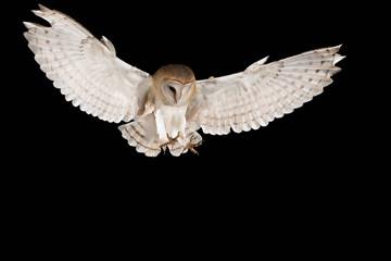 Barn Owl, in flight of perching on a trunk with open wings, black background, Tyto alba Fototapete