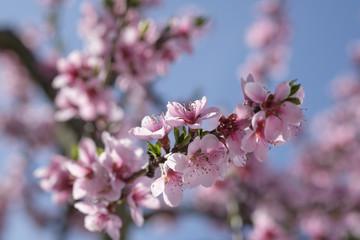 Apricot Blossom in Wachau in Lower Austria
