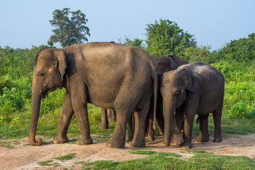Group of Asian elephants in Udawalawe National Park, Sri Lanka, Asia
