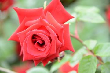 バラ 趣味でバラを見に行った。