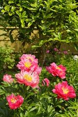 芍薬の花満開