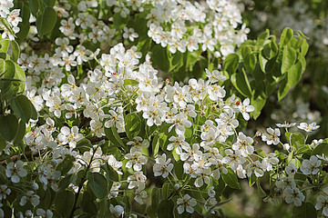 Beautiful branch pear tree blossoms in springtime
