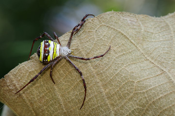 Image of multi-coloured argiope spider (Argiope pulchellla.) on brown leaves. Insect. Animal.