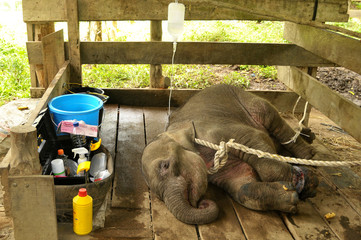 A young female elephant, injured after being caught in a snare trap, receives treatment from a team of government and university veterinarians at the Saree Elephant Training Center in Saree, Aceh province