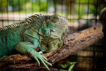 Lizard, animal, green lizard