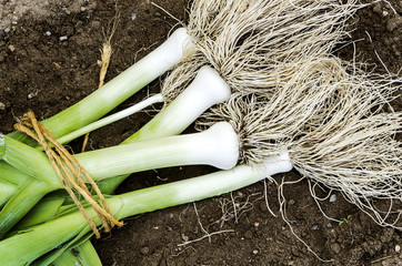Some leeks just being harvested.