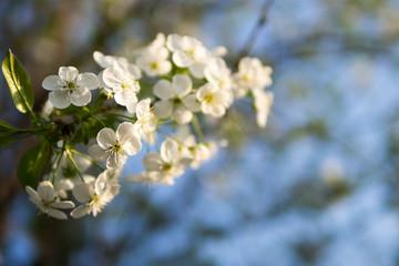 Beautiful cherry blossoms . Nature background