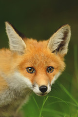 The red fox (Vulpes), largest of the true foxes, has the greatest geographic range of all members of the Carnivora order. Youngh. Juvenille