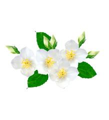 branch of jasmine flowers