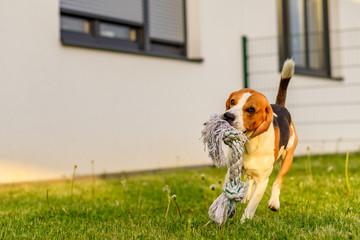 Pet dog Beagle in a garden having fun outdoors