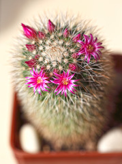 Cactus during spring flowering. Pink flowers on a background of thorns.