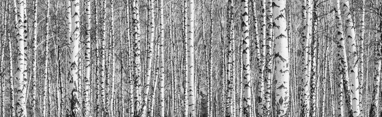 Wall Murals Dark grey Birch grove on a sunny spring day, landscape banner, huge panorama, black-and-white
