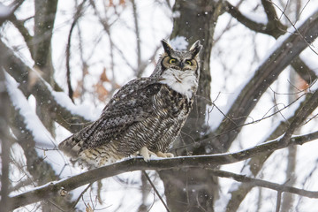 great horned owl (Bubo virginianus) in winter
