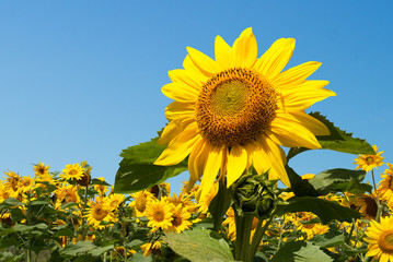 Sunflower close-up. Against the background of the blue sky and other sunflowers. Outdoors