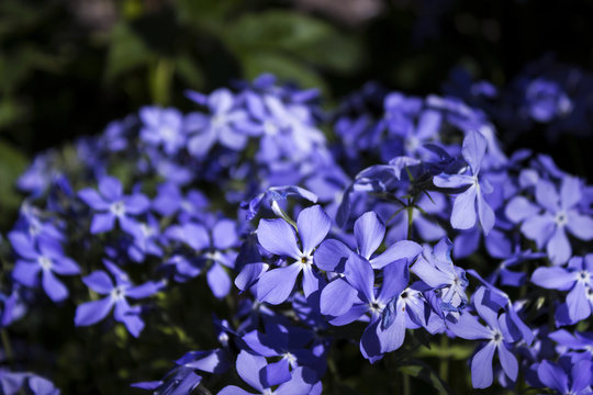 Bright blue phlox - many small spring flowers, botany, background, close-up