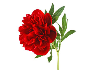 Red peony flower isolated on a white background