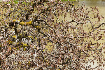 spring day in the garden; decorative hazel twigs with abstract shapes on water background.