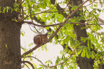 Cute brown squirrel sits on branch of tree and eats walnut on spring sunny day outside. Horizontal color photography.