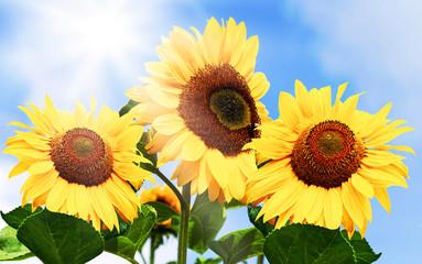 Lebensfreude pur, Sonnenblumen im Sonnenlicht