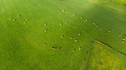 vue aérienne sur un troupeau de vache au milieu d'un pré vert