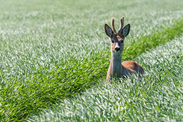 Roe Deer Buck in wheat field. Roe deer wildlife.