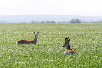 Male roe deer and female roe deer in wheat field. Roe deer wildlife.