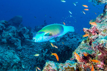 Wall Mural - Colorful Parrotfish on a pretty tropical coral reef